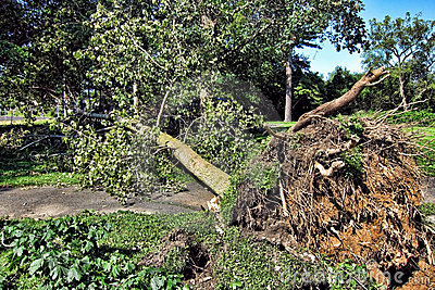 Uprooted Fallen Tree and Roots after a Hurricane