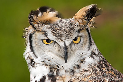 Upset Great Horned Owl