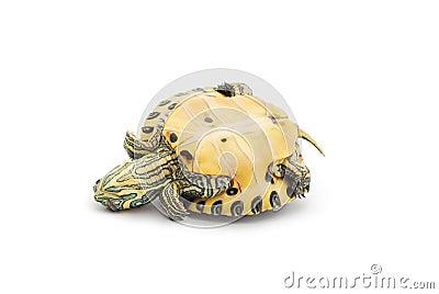Upside down turtle