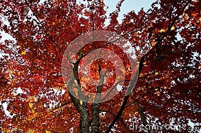 Upwards shot of maple tree in Autumn