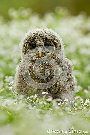 Ural Owl Stock Photo