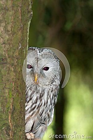 A Ural Owl in it s Natural Habitat