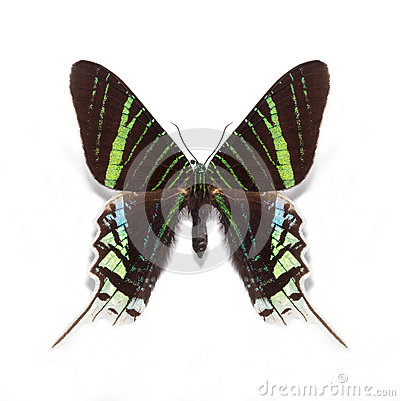 Free Urania Leilus Butterfly Royalty Free Stock Photos - 38743868