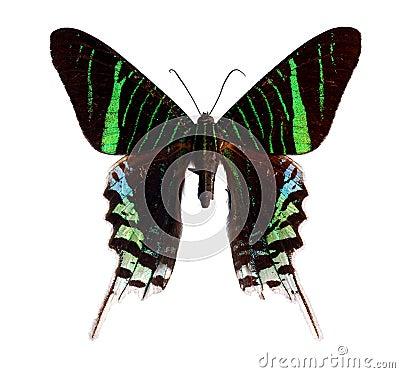 Free Urania Moth Stock Photo - 17648510