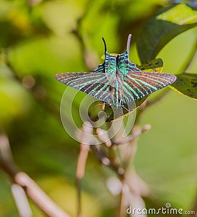 Free Urania Sunset Moth Stock Photos - 42077173