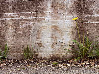 Urban decay detail - dandelion by concrete wall