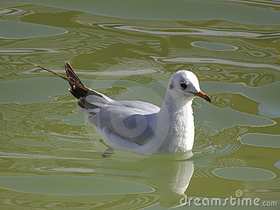 Urban seagull swimming on water