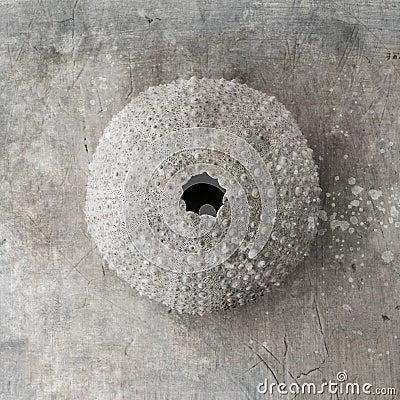 Free Urchin Seashell Royalty Free Stock Photos - 23708438