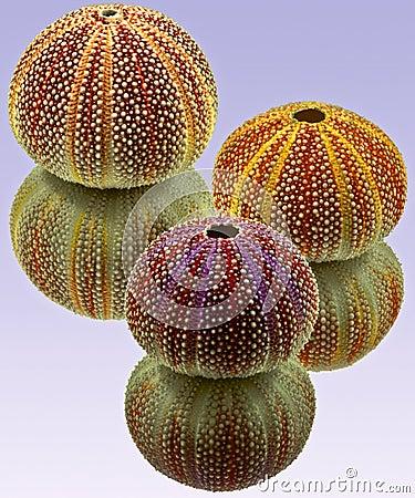 Urchins Three