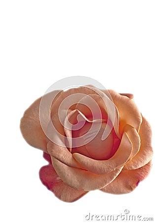 Urn shape flower rose rosa