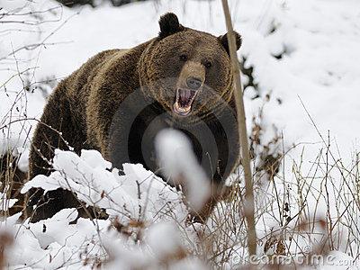 Urso de Brown (arctos do Ursus)