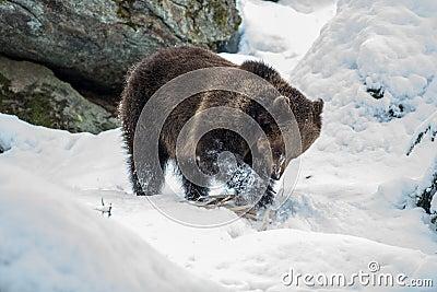 Urso de Brown (arctos do Ursus)