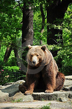 Urso de Brown no jardim zoológico