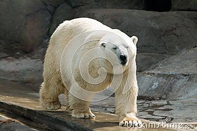 Urso Polar Imagens De Stock   Imagem  5487604