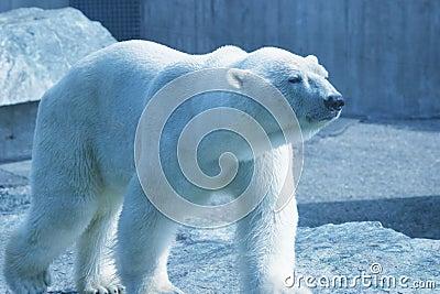 Urso polar de passeio