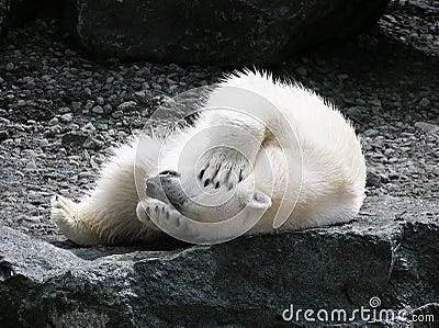 Urso polar que tem o divertimento