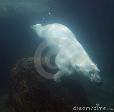 Urso polar subaquático