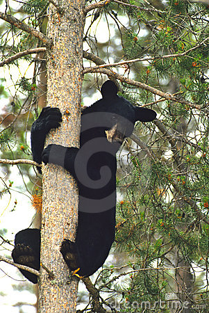Urso preto na árvore