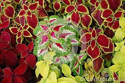 Urtica coleus blumei Stock Photo
