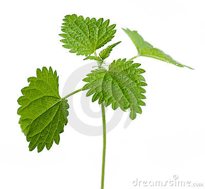Urtica dioica plant leaves Stock Photo