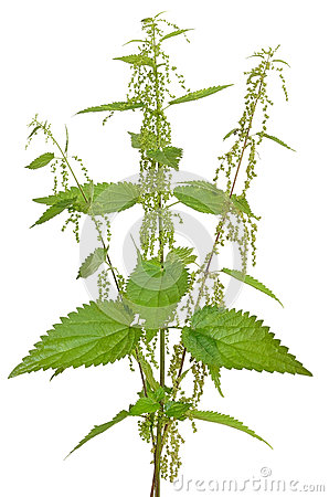 Free Urtica Urens (Stinging Nettle) Plant Stock Image - 44439381
