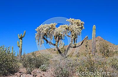 USA, Arizona: Cactus - Hanging Chain Cholla