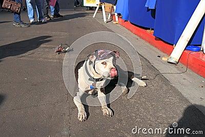 USA, AZ: American Bulldog with New Vizor Editorial Image
