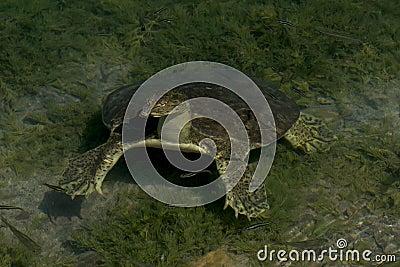 łuskający żółw