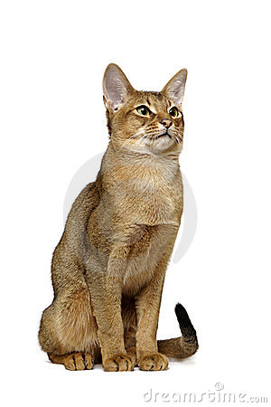 Usual Abyssinian Portrait Royalty Free Stock Image - Image: 8116346 Usual Abyssinian Kittens