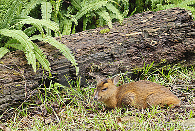 Utomhus- ståendedjurliv för djura hjortar