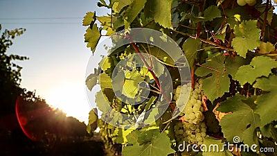 Uva blanca del viñedo en la puesta del sol almacen de video