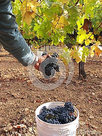 Uvas de la cosecha para el vino