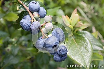 Uvas-do-monte na refeição matinal