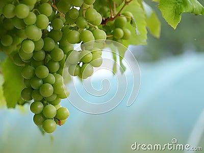 Uvas en paisaje de la vid