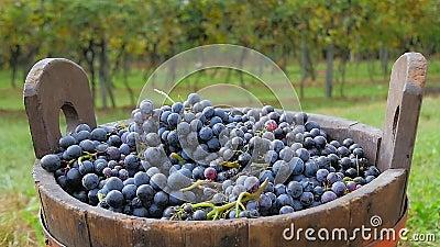 Uvas y cesta negras con los viñedos en fondo almacen de metraje de vídeo