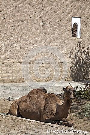 Uzbekistan, the camel