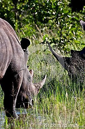 Uzbrajać w rogi nosorożec