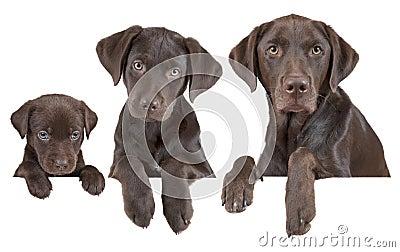 Växande etapper för hund