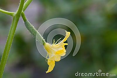 Växande gurka