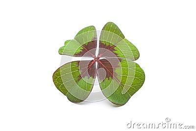 Växt av släkten Trifolium för fyra leaf