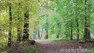 Vídeo colocado, acercamiento del otoño en bosque hermoso almacen de metraje de vídeo