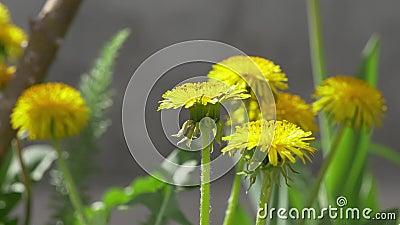 Vídeo dandelion amarelo vídeos de arquivo