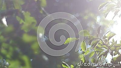 Vídeo do fundo, folha verde, banhada na luz solar brilhante Os raios do sol através da névoa, bokeh filme