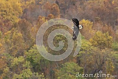 Vôo do outono da águia calva