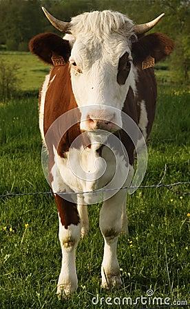 A vaca