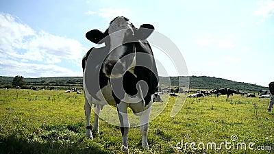 Vaca blanco y negro en un pasto