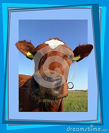 Vaca curiosa