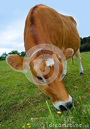 Vaca de Jersey