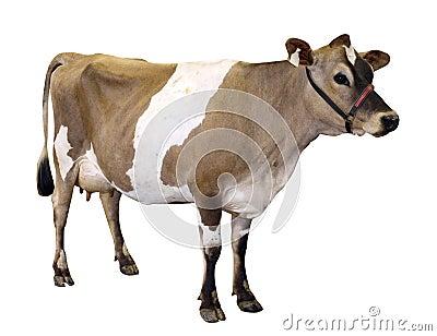 Vaca de Jersey com cabeçada