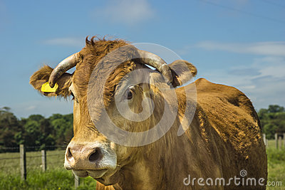 Vaca de Limousin